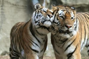 Tiger cuddle by AF--Photography