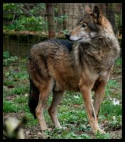 eurasian wolf. by morho