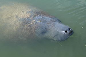 Sea Cow by FroglovinPhotogirl
