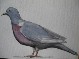 Common Woodpigeon by Oddity-1991