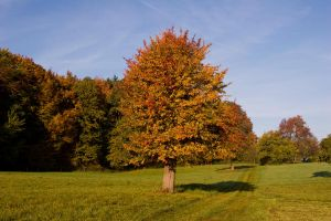 Tree in Autumn3 by archaeopteryx-stocks