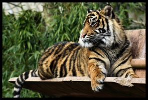 Tiger 05 by Alannah-Hawker