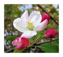 Apple Blossom Delight by dove-51