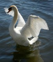 swan dancing 3 by Drezdany-stocks