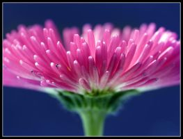 Pink Daisy by kanes