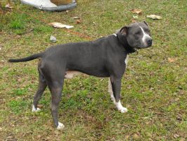 Gray Pitbull 2 - stock by fallbreak-stock