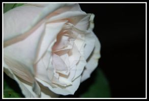 Simply A Rose by Saved-from-Myself