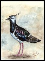 Northern Lapwing - watercolor by czajka