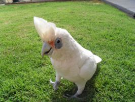 Walter the Cockatoo by Coocoosim