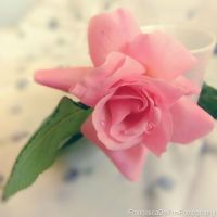 Soft rose by FrancescaDelfino