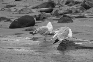 Standing Seagulls, Stare and Preen 3 by Miss-Tbones