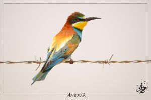 European bee eater by AMROU-A