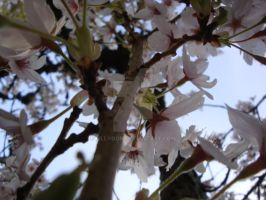 Behind the Blossoms by Lillagon