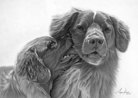 Commission - Nova Scotia duck tolling retrievers by Captured-In-Pencil