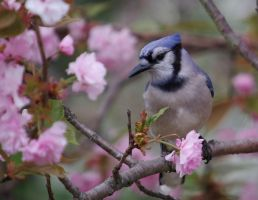 Blue Jay in Pink by barcon53