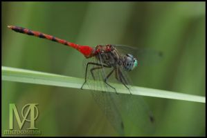 Blue-faced meadowfly II by microcosmos