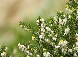 white heather by SvitakovaEva