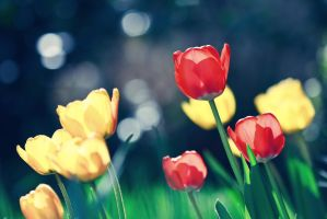 Red and Yellow Tulips by Koun-San