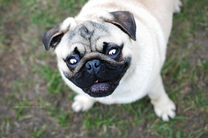 Hi - Dexter the Pug by YokerS
