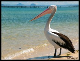 Pelican by 2Stupid2Duck
