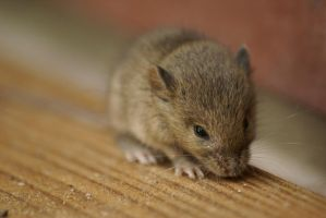 Little mouse by Goodka8