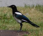 Young Magpie by decors