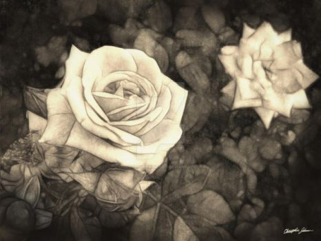 Pink Roses in Anzures 1 Antiqu by ChristopherinMexico