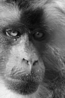 b and w monkey by rosscaughers