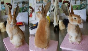 WIP Orange Rabbit Lifesize Mount by DeerfishTaxidermy