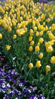 Yellow carpets by CJM99