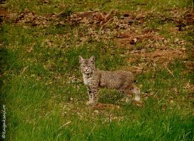 Female bobcat stock by kayaksailor