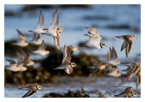 Ringed Plovers by Neutron2K