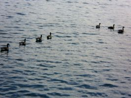 They are Followed -Duck Swim- by NoneOnly