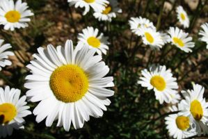Wild Daisies by Oddstuffs