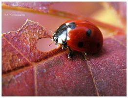 "Ladybug macro ""3"" by selley"