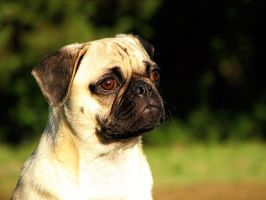 Pug thoughts by garnettrules21