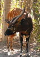 Eastern Bongo by Photos-By-Michelle