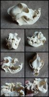 English Bulldog Skull by CabinetCuriosities