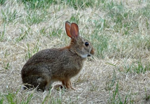 Young Rabbit II by Track-Maidens