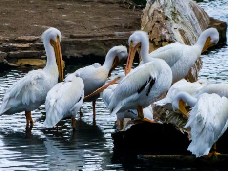 Pelicans by Alphasnivylove