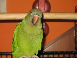 my Parrot 4 by dafna14495