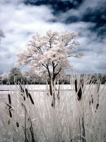 Infrared Cattails 2 by ilimel
