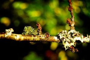 Branch and lichen by MarcosRodriguez