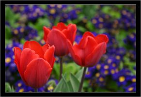 Tulips by ShipwreckedBarnacles