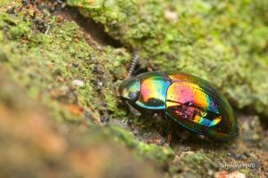 Iridescence of beetles by melvynyeo