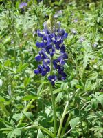 Bluebonnet by RocketFan