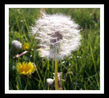 Dandelion by Metallifreaknate