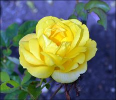 Yellow Rose by FrankAndCarySTOCK