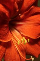 Amaryllis by Mietschie