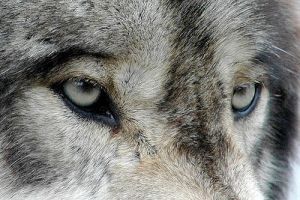 Wolf eyes by XoxOtiggerOxoX